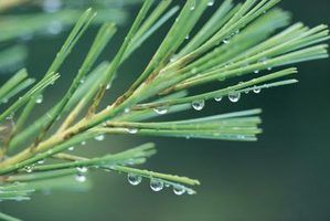 How to Extract Essential Pine Tree Oil thumbnail