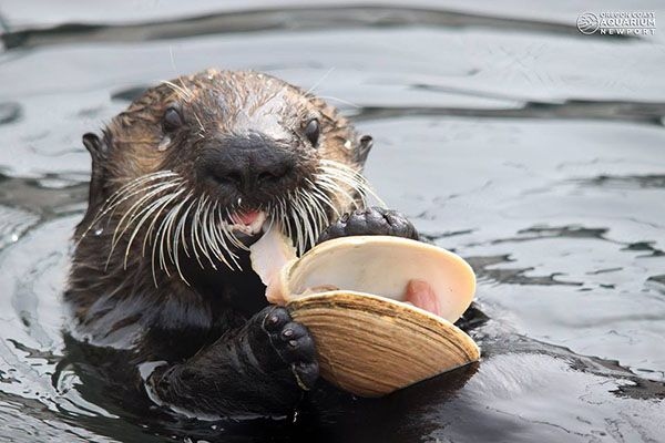 Nothing but the freshest seafood for sea otter - April 22, 2015