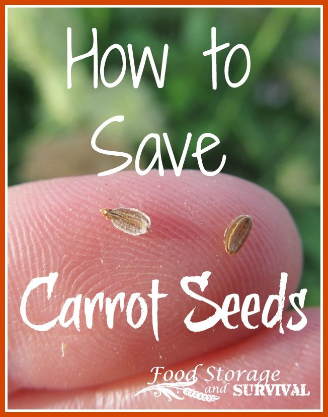 Saving carrot seeds is a two year process.  Like many other root crops including onions and beets, carrots are biennials.  This means the first year they are planted, they do...