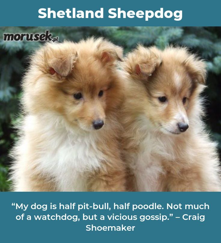 Shetland Sheepdog Love Shetlandsheepdogvalp Shetlandsheepdogs Shetland Sheepdog Sheltie Puppy Shetland Sheepdog Blue Merle