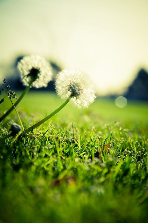"""When you look at a field of Dandelions You can either see a field of a hundred weeds Or a field of a hundred Wishes"""