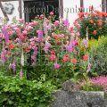 Rosen, Rosenpflege, *Gesunde* Rosen Rosa 1_Infos_Gesunde_Rosen Blumenmeer mit Katze aus Fingerhut, Rosen, ......