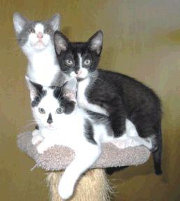 Feline Distemper (Panleukopenia)    Most people have heard of feline distemper only because the distemper vaccine represents the core recom...