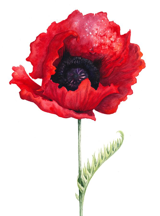 Poppy, Illustration by Marta Leonhardt