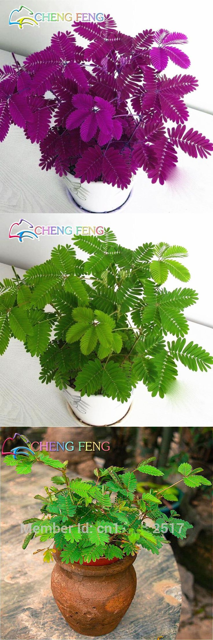 [Visit to Buy] big sale! 30Seeds / Pack, Sensitive plant mimosa, mimosa seeds, sensitive plants Bashful grass seeds bonsai free shipping #Advertisement