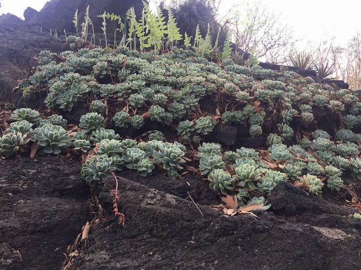 Colonia de Echeverias / Jardín Botánico UNAM / Cactus sin fronteras