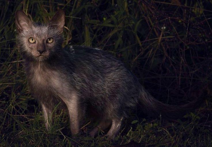 Le lykoi, un chat-garou, fait son apparition en France