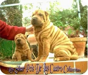 Impresionantes Cachorros Sharpeis 100% Americanos - Perros pequeños en Córdoba, Córdoba.
