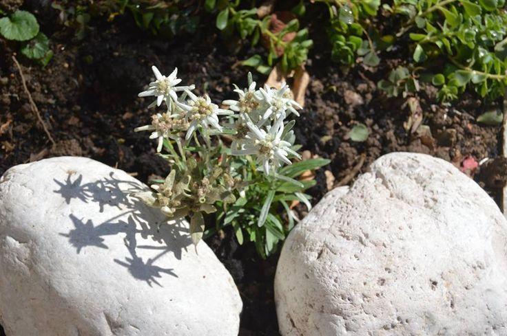 MINIATURNÍ ALPSKÁ ZAHRÁDKA --- dva kameny z Dolomit + alpská Protěž