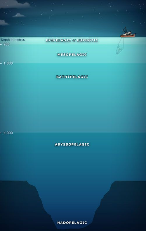 5 depth zones have been identified in the ocean. Life is most abundant in the uppermost 'euphotic' layer, where photosynthesis occurs. The mesopelagic is practically dark, and many creatures hide here during the day. The bathypelagic zone begins at 1,000 metres, where the pressure is nearly 100 times greater than at the surface. Below that lies the abyssopelagic zone,down to the sea floor-except where ocean trenches cut through the sea bed, creating what is called a hadopelagic zone