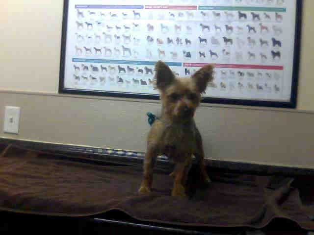 *AL-ID#A678557    Shelter staff named me AL.    I am a male, tan and black Yorkshire Terrier.    The shelter staff think I am about 5 years old.    I have been at the shelter since Oct 16, 2012.