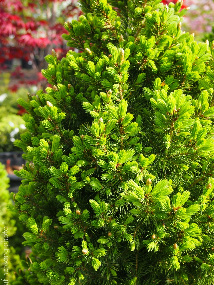 125 best evergreens images on pinterest evergreen dwarf for Short evergreen trees