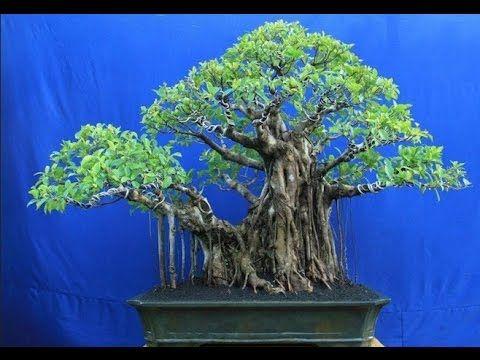 Amazing Bonsai Trees: Bonsai Tree Meaning In Hindi