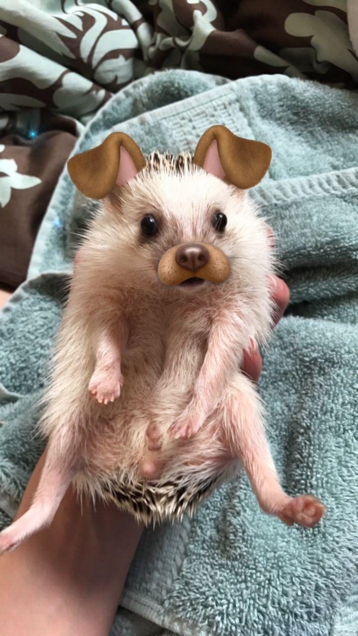 Best 10+ Cute Hedgehog Ideas On Pinterest