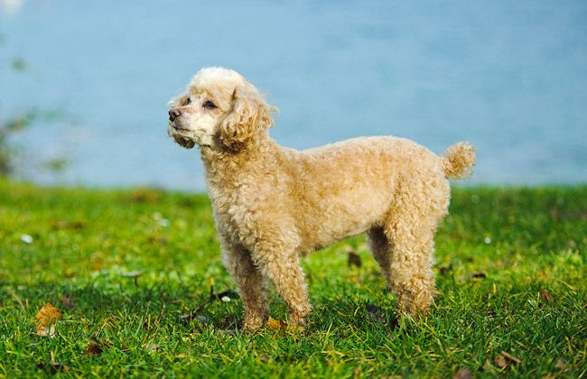 Toy Poodles are suited to many types of homes because they are so good natured. Learn all about Toy Poodle breeders, adoption, health, grooming, training, and more.