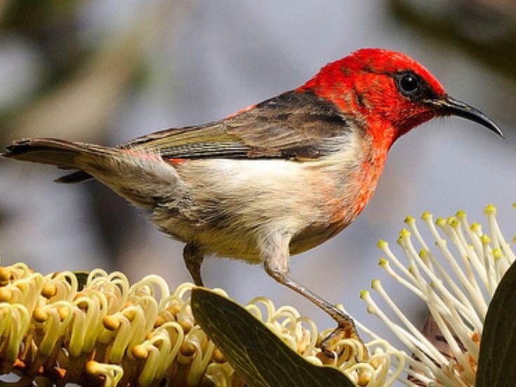 New Caledonian Myzomela, Myzomela  caledonica - Hotspot Birding