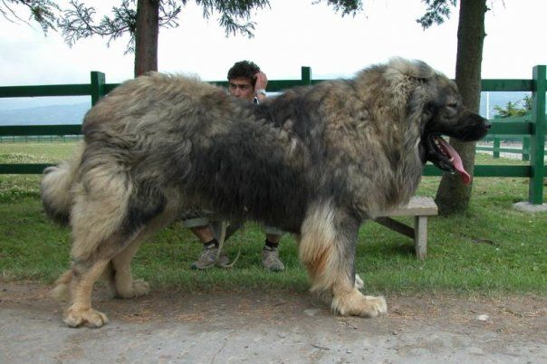 The Caucasian shepherd (Russian: ovtcharka, Georgian: nagazi) is a large breed of working dog valued for its fierce dedication in guarding both its herd and its family. The breed is becoming increa...