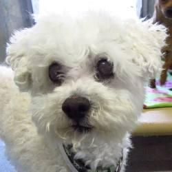 Poodle & Maltese Mix • Adult • Male • Small Bichon Rescue Brigade Diamond Bar, CA  BICHON RESCUE BRIGADE 604 Looking Glass Diamond Bar, CA 91765 Contact this Organization ABOUT OLIVER Oliver just may have the biggest, blackest eyes of any small white dog you'll ever see. Yet how ironic that as big as they are, they provide no ability for Oliver to see the world around him. This gorgeous little Maltipoo, about 8 years old and weighing 10 lbs. (if even), came ...