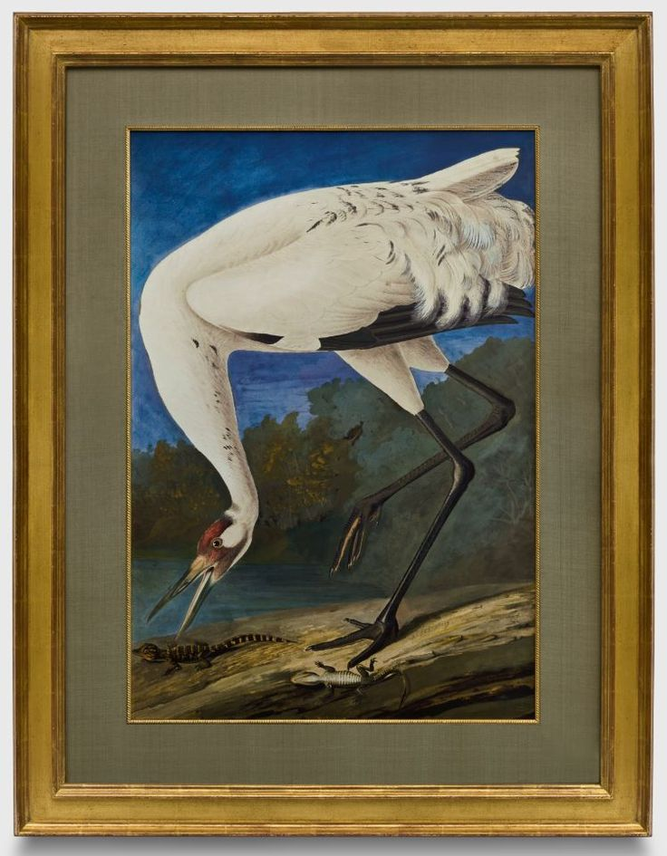 Houston Map Framed%0A Audubon Whooping Crane  watercolor series in a closed corner    karat gold  frame  a