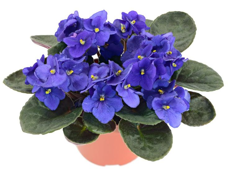 SAFE FOR CATS: African violet, saintpaulia