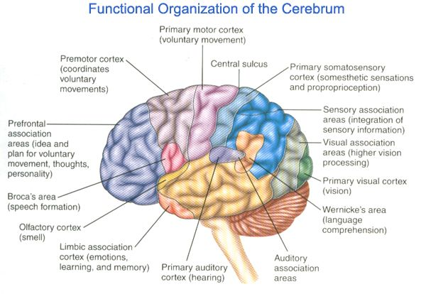 wernicke's area | area del cervello in cui vengono elaborati meccanismi grammaticali ...