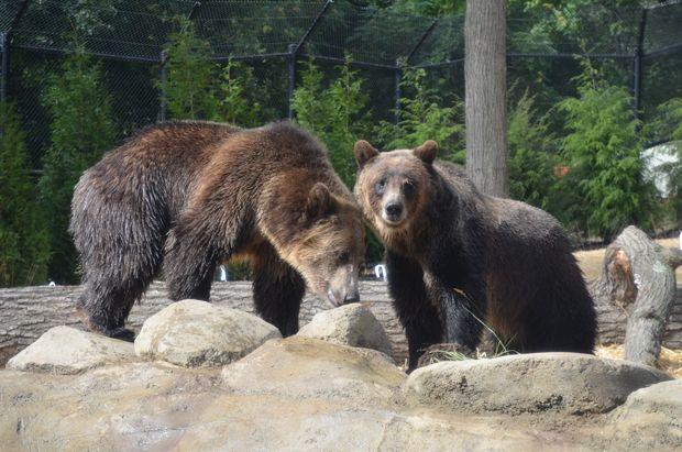 Sneak Peek at Akron Zoo Grizzly Ridge