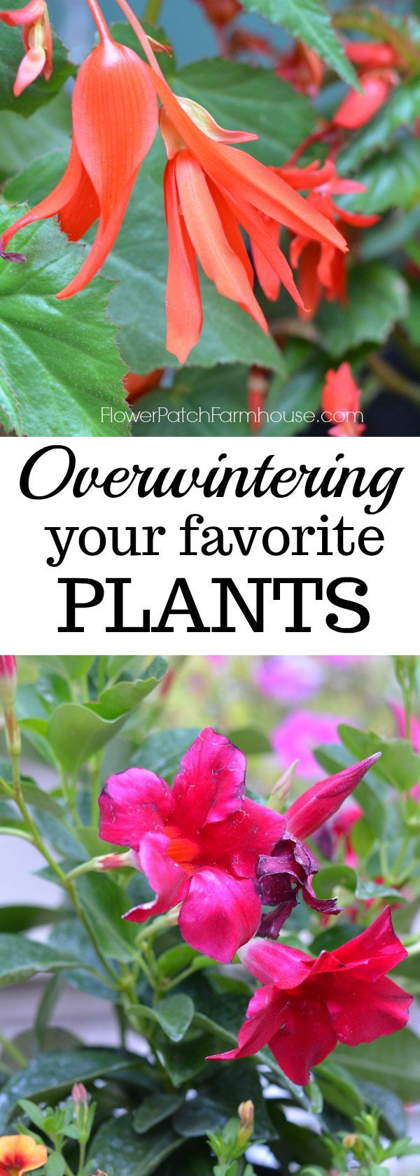 Over winter some of your favorite plants, come see how I treat them before bringing them in to keep them healthy and happy through the cold winter months and even get some blooms! via @FlowerpatchPam