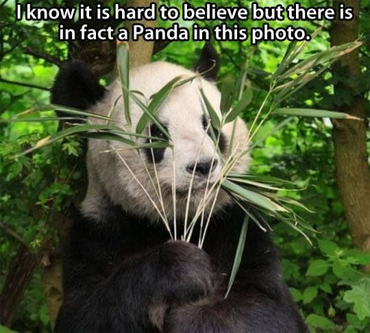 230 best images about Panda Bears - how can one species be ...