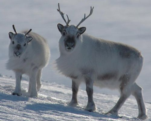 have some cute pics of svalbard reindeer