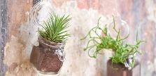 Coltivare l'Agave : Le specie di agave sono numerosissime: basta ricordare l'angustifolia, che viene utilizzata per produrre il Mezcal, classico liquore messicano; la tequilana, alla base, appunto, della tequila; la celsi, nana e con foglie a forma di pannocchia; la sisalana, coltivata per produrre tessuti, corde e cappelli; la deserti, che cresce nel sud degli Stati Uniti e in Messico e presenta uno stelo lunghissimo in cima al quale sboccia un fiore.