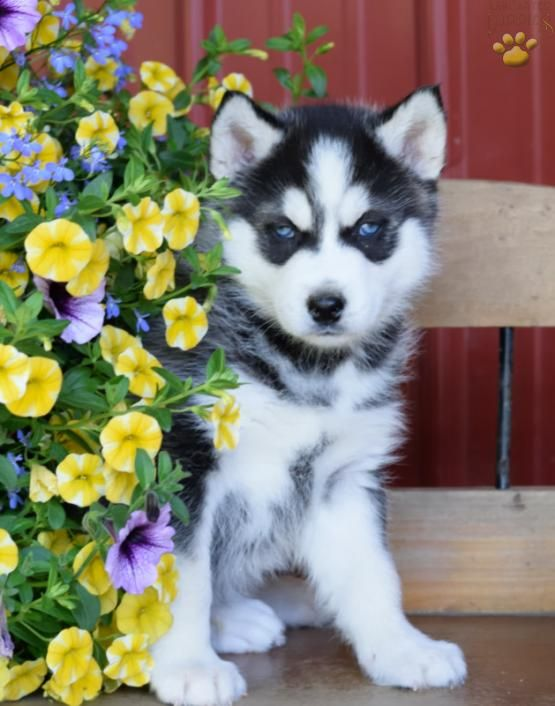 ►↕Handsome Husky↕◄ #SiberianHusky #HandsomePup #LancasterPuppies www.LancasterPuppies.com