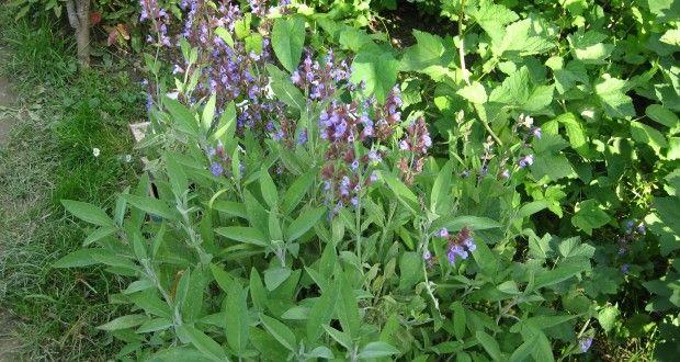 Već 4.000 godina kadulja je na glasu kao čudesna biljka koja liječi mnoge bolesti a kod nekih je nar...