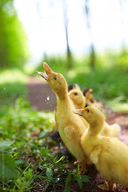 lovely yellow ducklings outdoor By Bonaoke Available to license exclusively at Stocksy
