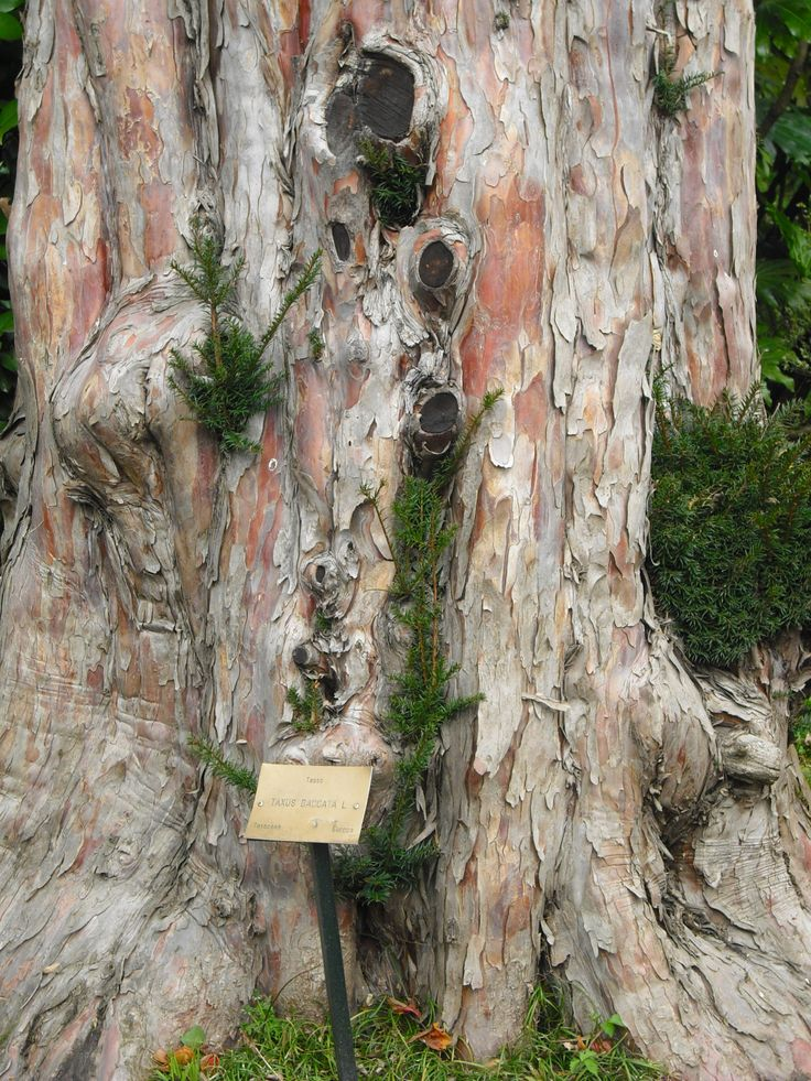 This is the trunk of a beautiful yew-tree in Villa Carlotta