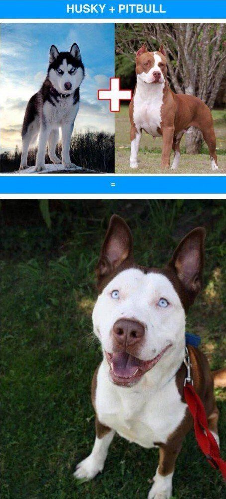Croisements de chiens de race