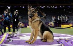 German Shepherd Rumor wins Westminster Kennel Club Best in Show