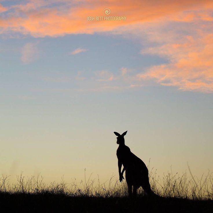 """""""Kangaroo Shadow""""  Just another Kangaroo silhouette for the shapes series I'm working on, the series has evolved and I'm now thinking of titling it """"Shadows of Semi-Wild Australia"""". The series is made up of familiar Australian wildlife shapes using silhouettes. A silhouette is a simple technique in photography, capturing wildlife silhouettes in their natural habitats is not so simple. The idea is to pare back complexity of wildlife photography and concentrate on the artistic elements of each…"""