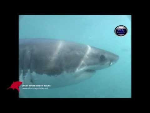 A curious  White Shark swims right up to the camera underwater. Great White Sharks can  look even  more scary underwater. Especially in front of your eyes from a cage