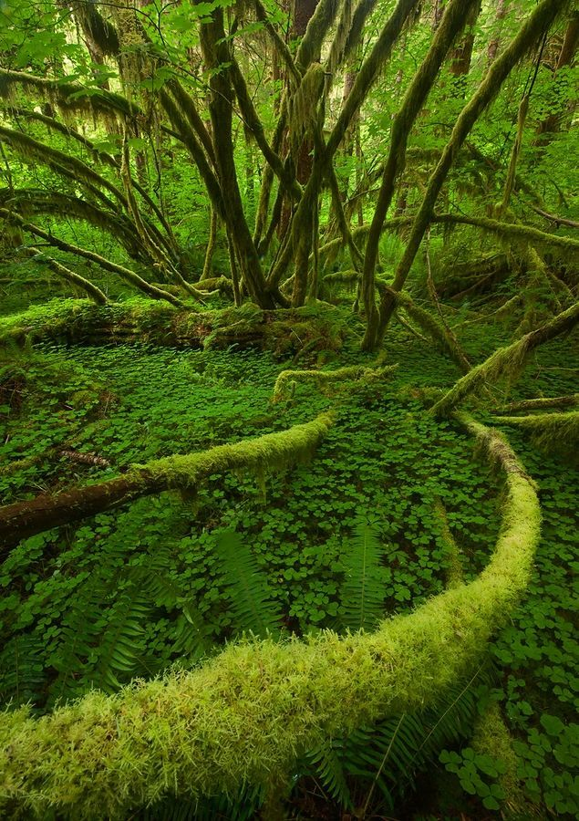 The Hoh Rainforest is located on the Olympic Peninsula in western Washington state, USA.