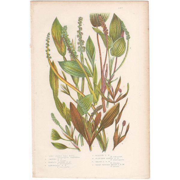 Anne Pratt antique 1860 botanical print, Pl 237 Pond Weed, Flowering Plants  | eBay