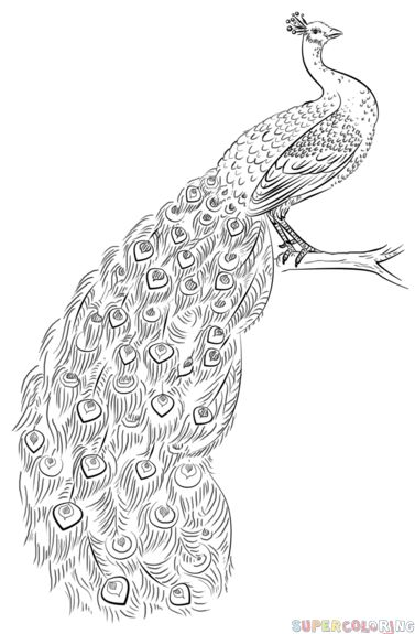 1000  ideas about peacock drawing on pinterest