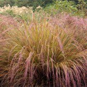 Anemanthele lessoniana (New Zealand Wind Grass) Water Use: Low Size: 3' x 3' Sun: Sun/Partial Shade CA Native: No Deer Resistant: Rarely damaged Wildlife Value: None