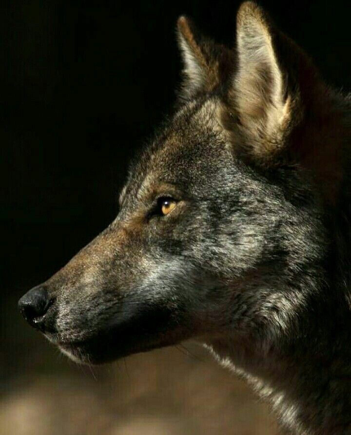 фотографии волков одиночек изготовить панно, можно