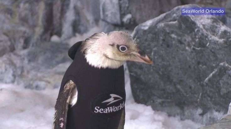 Image result for This Adelie penguin had to improvise with a customized wetsuit