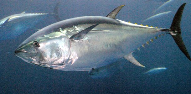 """Blue Fin Tuna - """"I don't blame the fishermen for this we, the consumers, have done this because we have a taste for fish and 'delicacies' such as shark-fin soup. Our demand for seafood appears to be insatiable.""""  Sylvia Earle"""