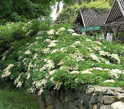 A vigorous deciduous vine from Japan and Korea whose heart-shaped foliage and large white clusters of June flowers make it an attractive covering for a wall, fence, or large tree.