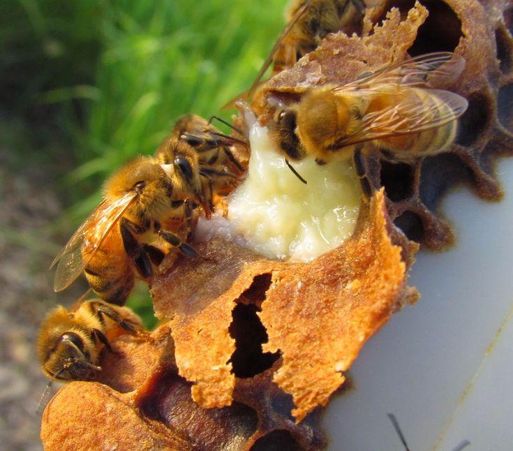 La jalea real es un alimento que contiene muchos nutrientes y beneficios para la salud. Se utiliza para tratar muchos problemas de salud y ayuda a revitalizar el organismo. La jalea real es fabricada por las abejas y sirve para alimentar a las larvas obreras durante los primeros días de vida. Tiene una gran capacidad …