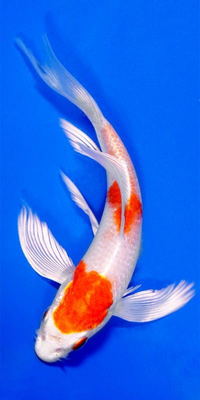 Hariwake butterfly koi fish art and all that jazz for Black and white koi fish for sale