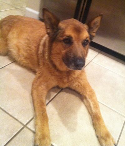 Calvin the German Shepard / Queensland Heeler / Chow Chow mix dog at 14 years old