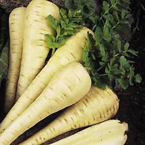 The parsnip [ Pastinaca sativa ] is related to the carrot and was brought to Britain by the Romans. It is a very hardy root vegetable and is wonderful when roasted. It also makes a great addition to casserole, soups and stews. Easy to grow and require little maintenence. They can be left in the garden, even in the coldest weather. Parsnips are usually sown in early spring, and if successive sowings are made, parsnips can be harvested  from autumn right through the winter